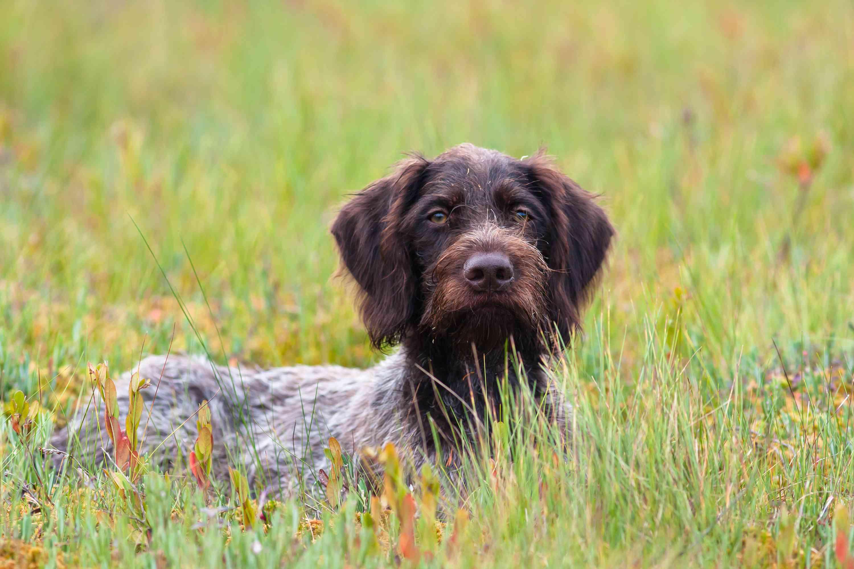 Irish Wolfhound parado frente a un fondo borroso de hierba