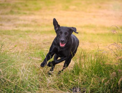 Dog is jumping while running