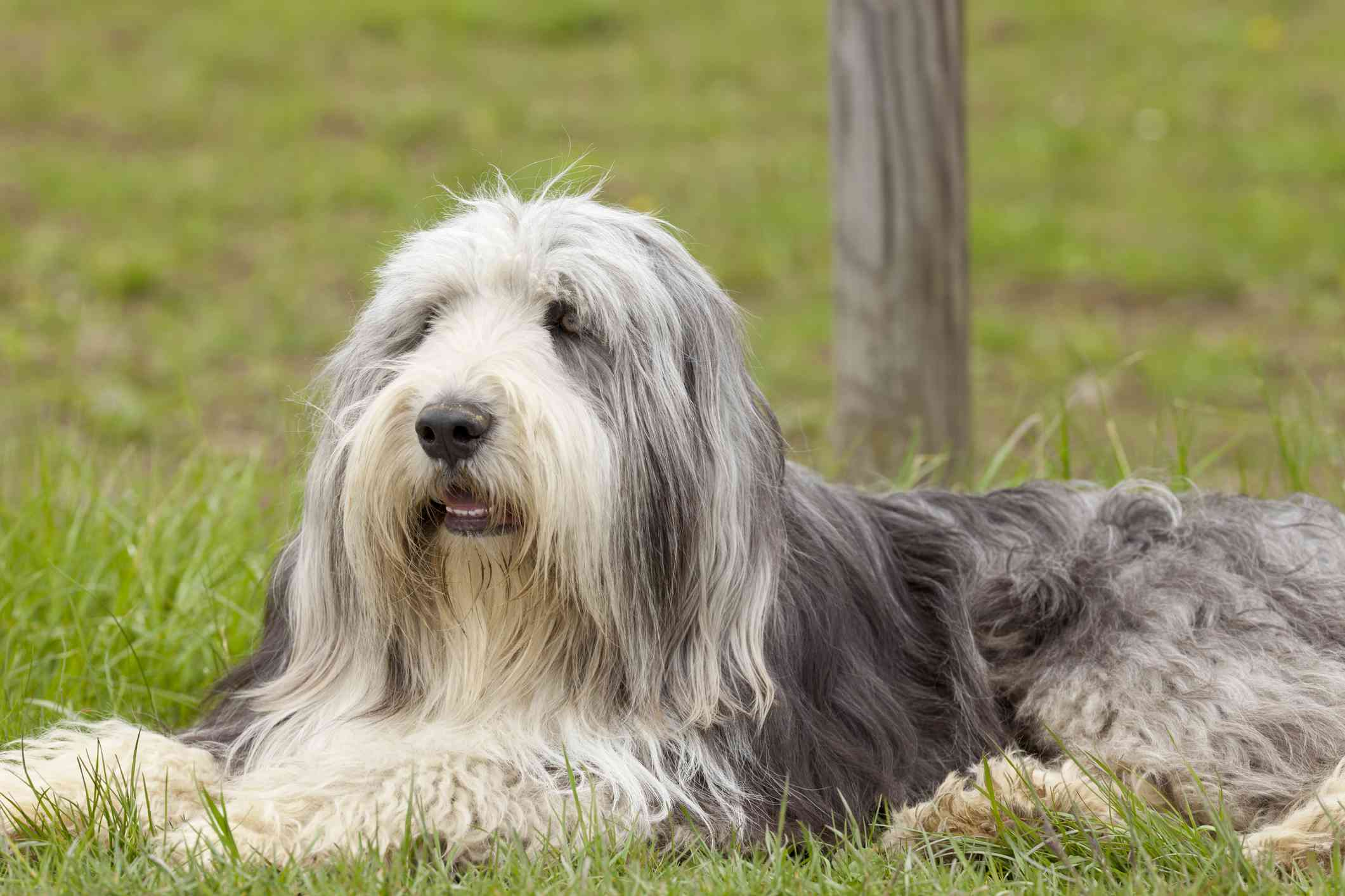 Bearded collie lying in grass