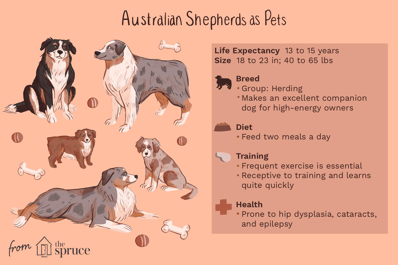 australian shepherds as pets illustration