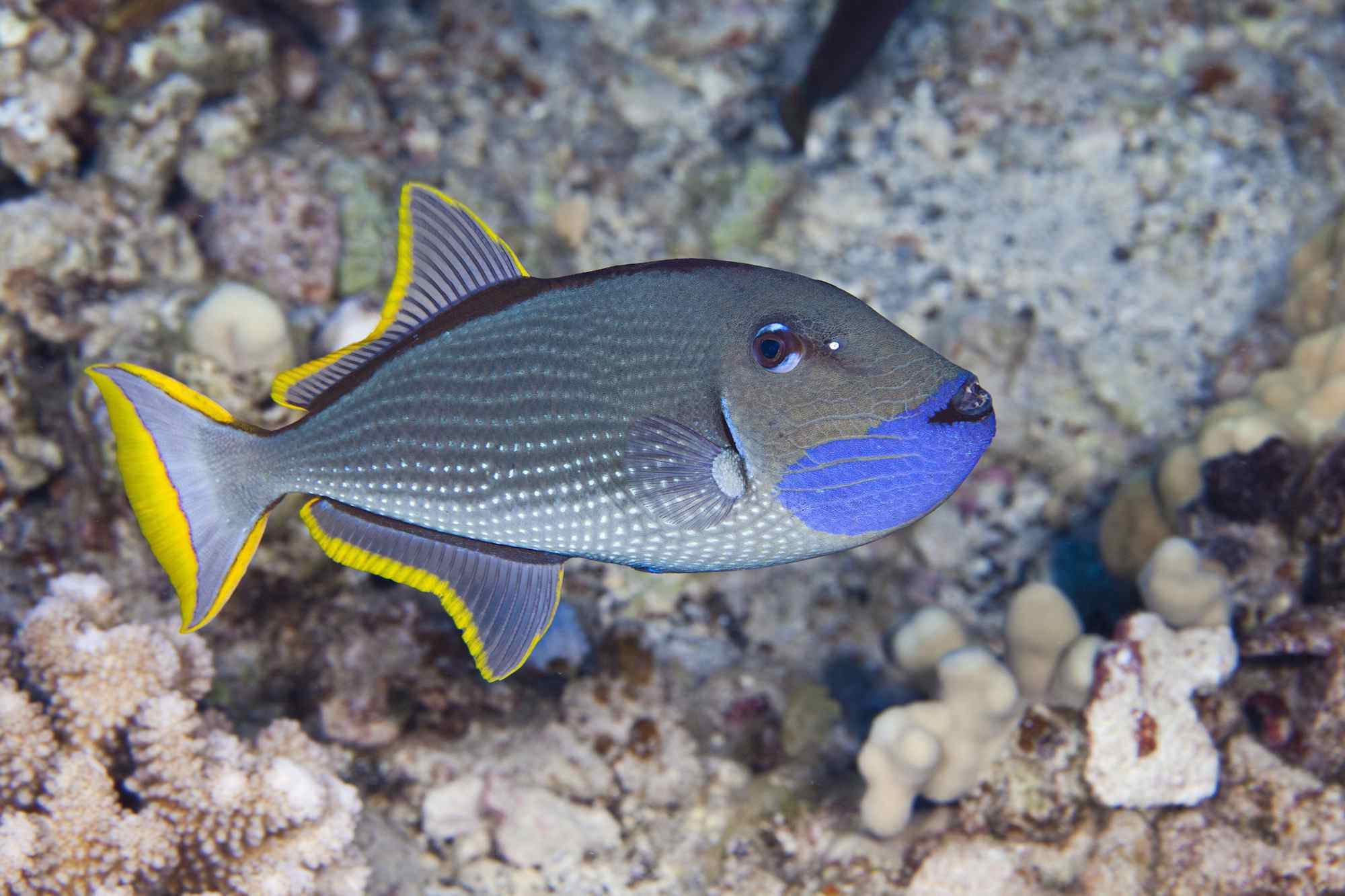 Hawaii, The Male Gilded Triggerfish (Xanthichthys Auromarginatus) Is More Colorful Than The Female. Both Spend A Great Deal Of Time Above The Reef Where They Feed On Passing Plankton.