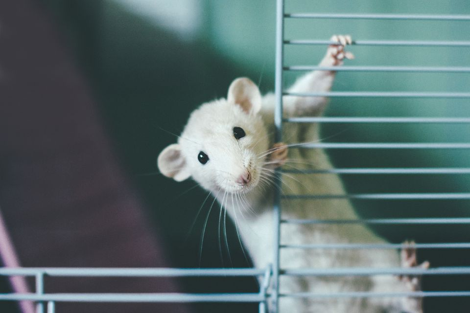 White rat climbing up rat cage