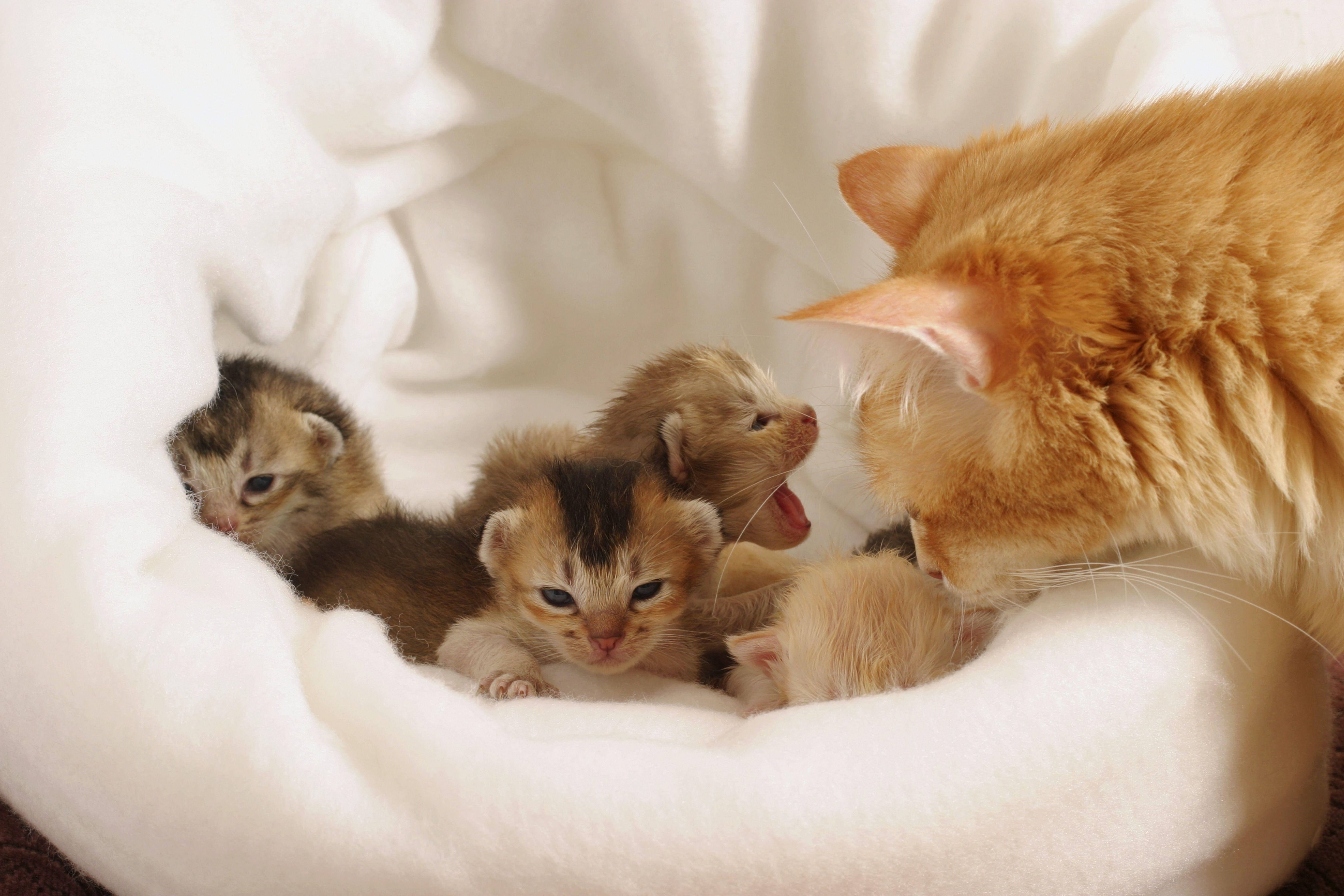 Jengibre gato inclinado sobre el borde de una canasta que contiene camada de gatitos