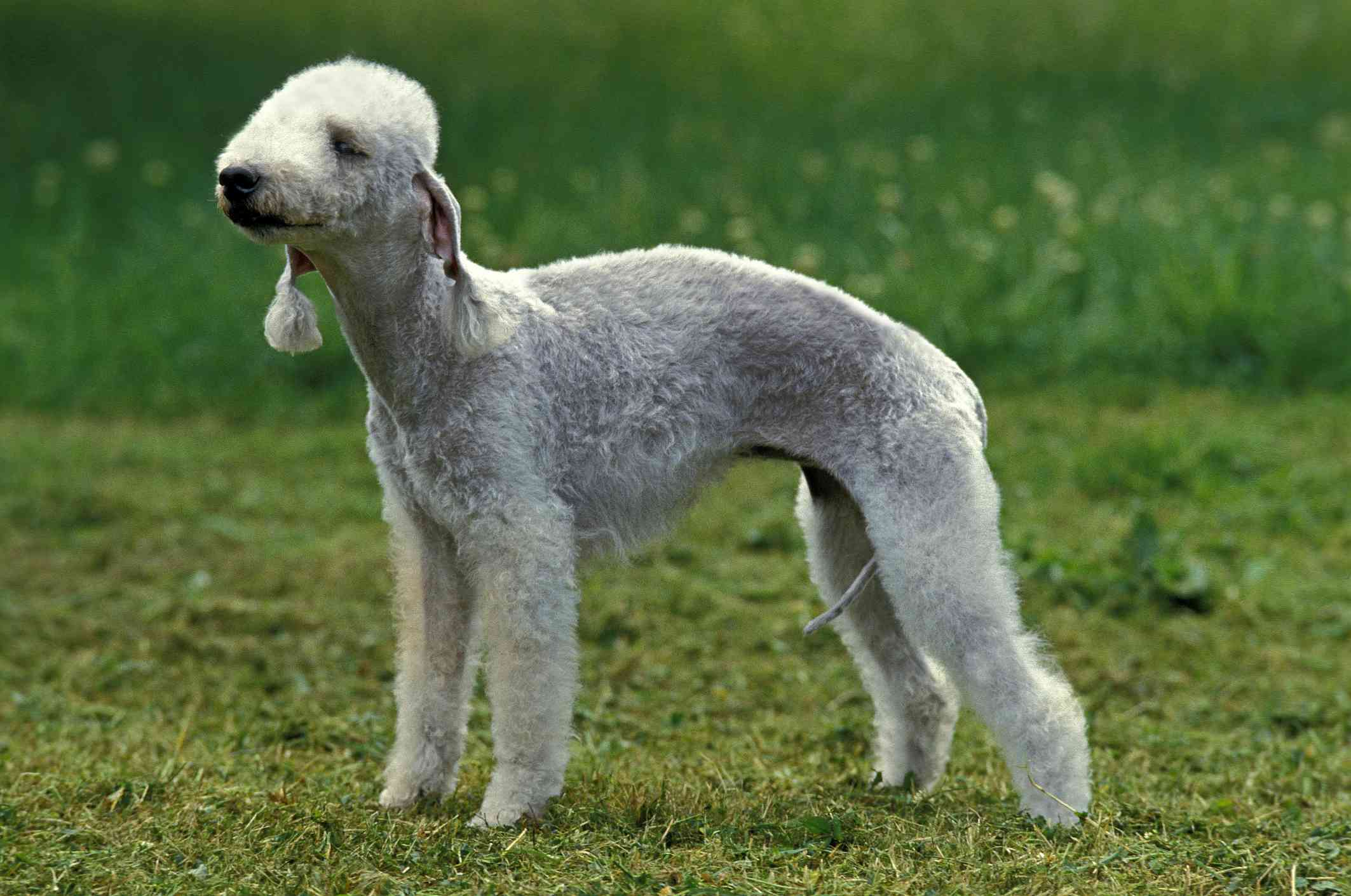 Bedlington Terrier, Adult standing on Grass