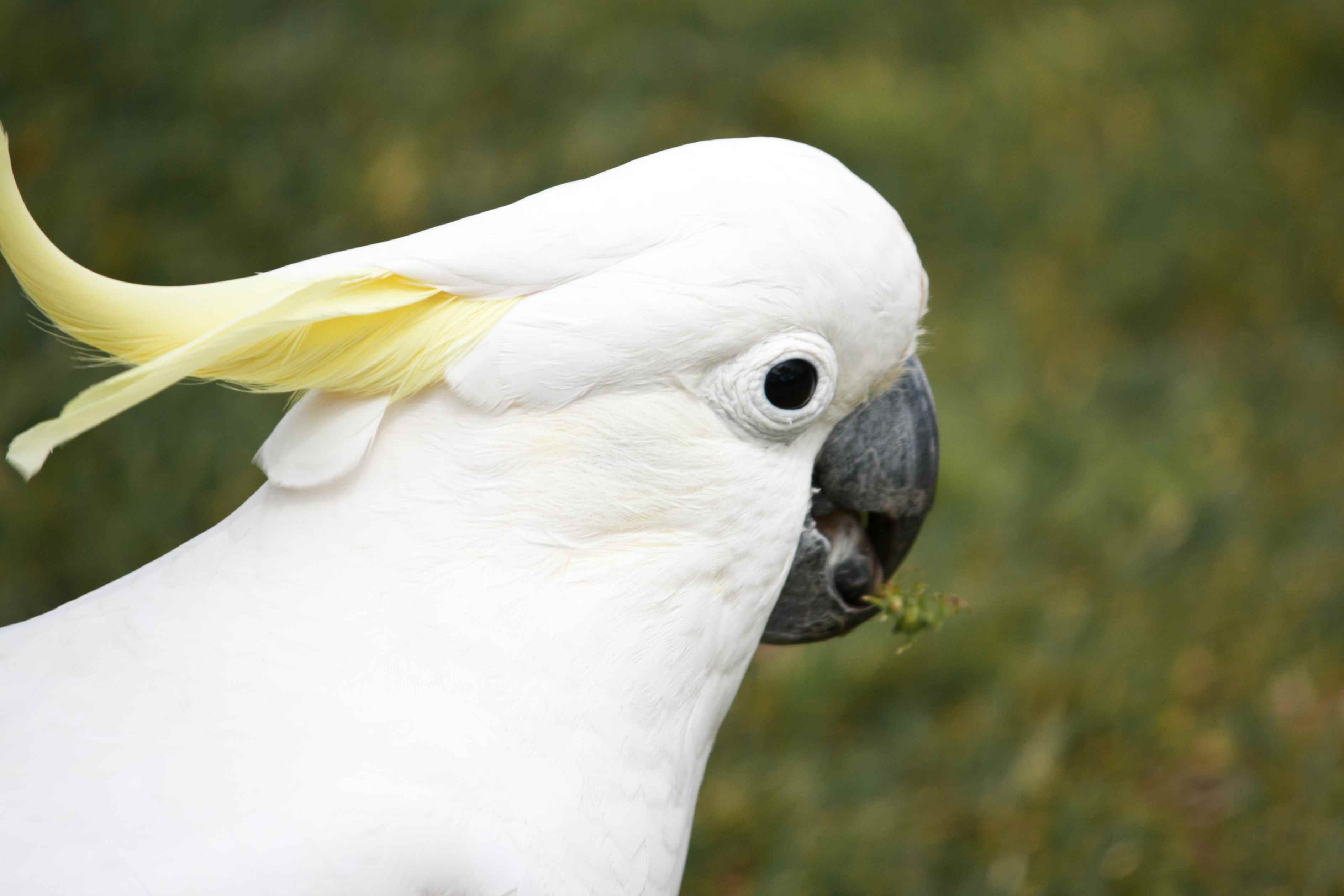 The face of a sulphur-crested cockatoo against a green background