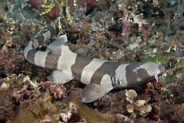 Juvenile Brown-banded Bamboo Shark, Chiloscyllium punctatum,
