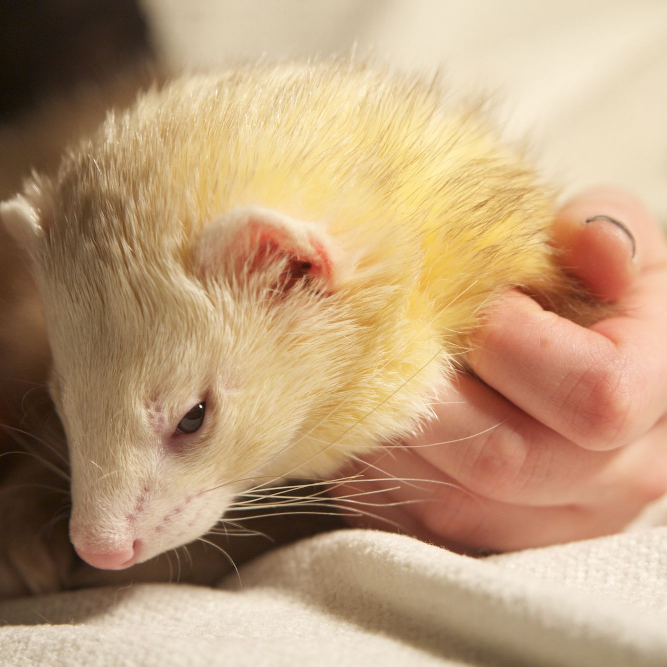 How to Groom Pet Ferrets