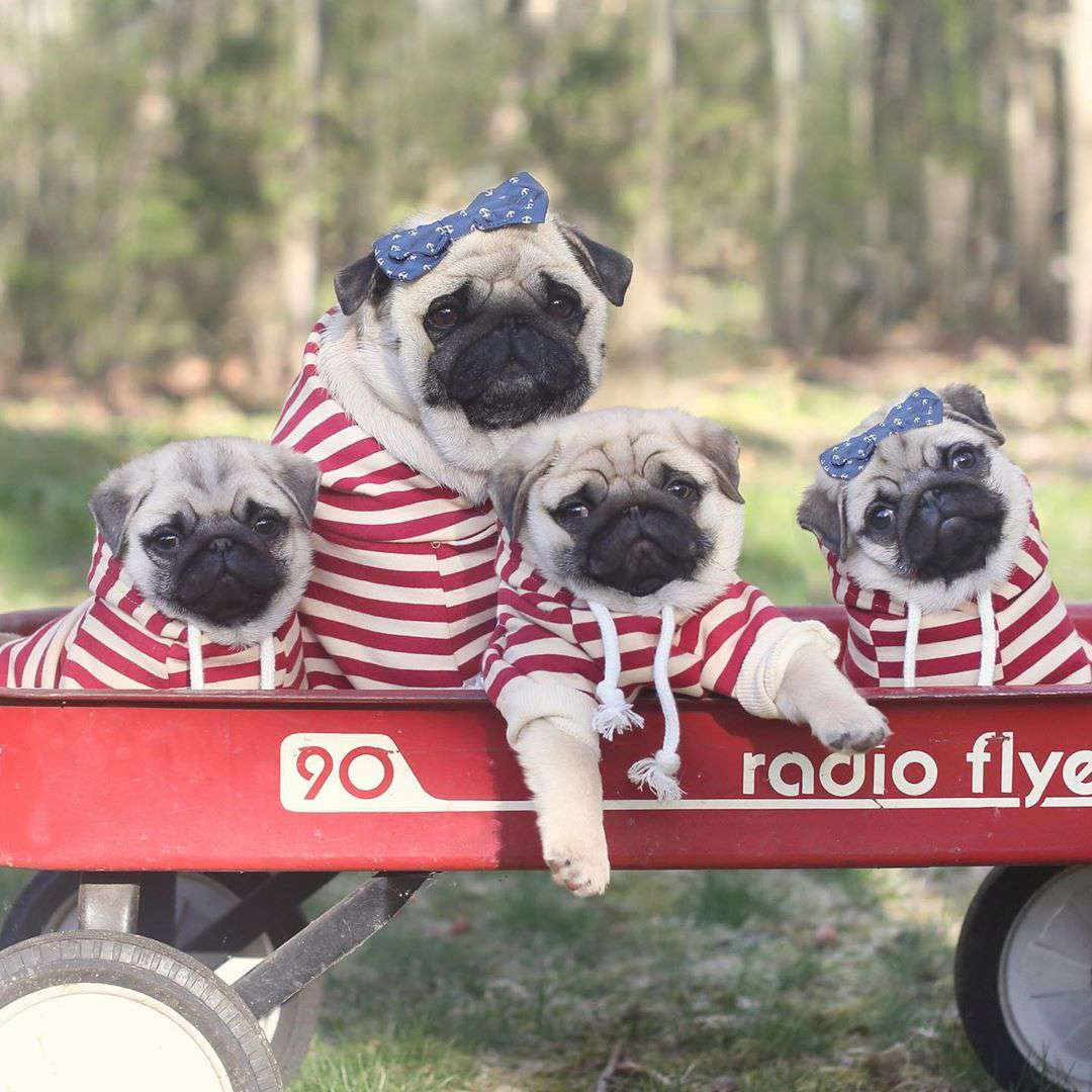 Four pugs dressed in white striped hoodies looking at the camera while posed in a red wagon.