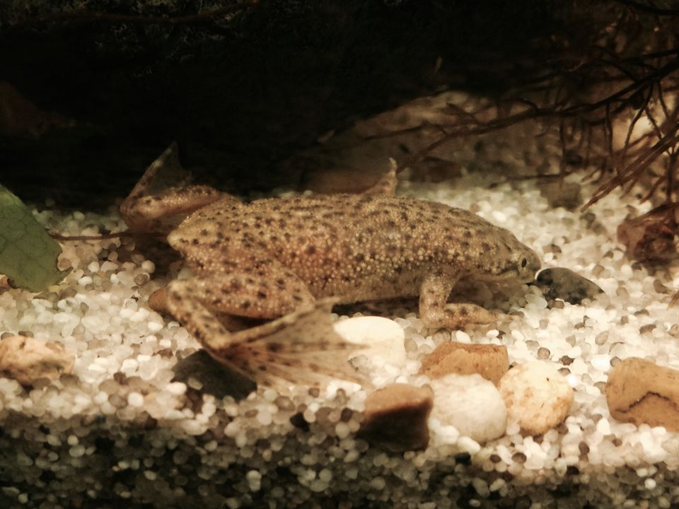 African dwarf frog resting on white gravel in an aquarium