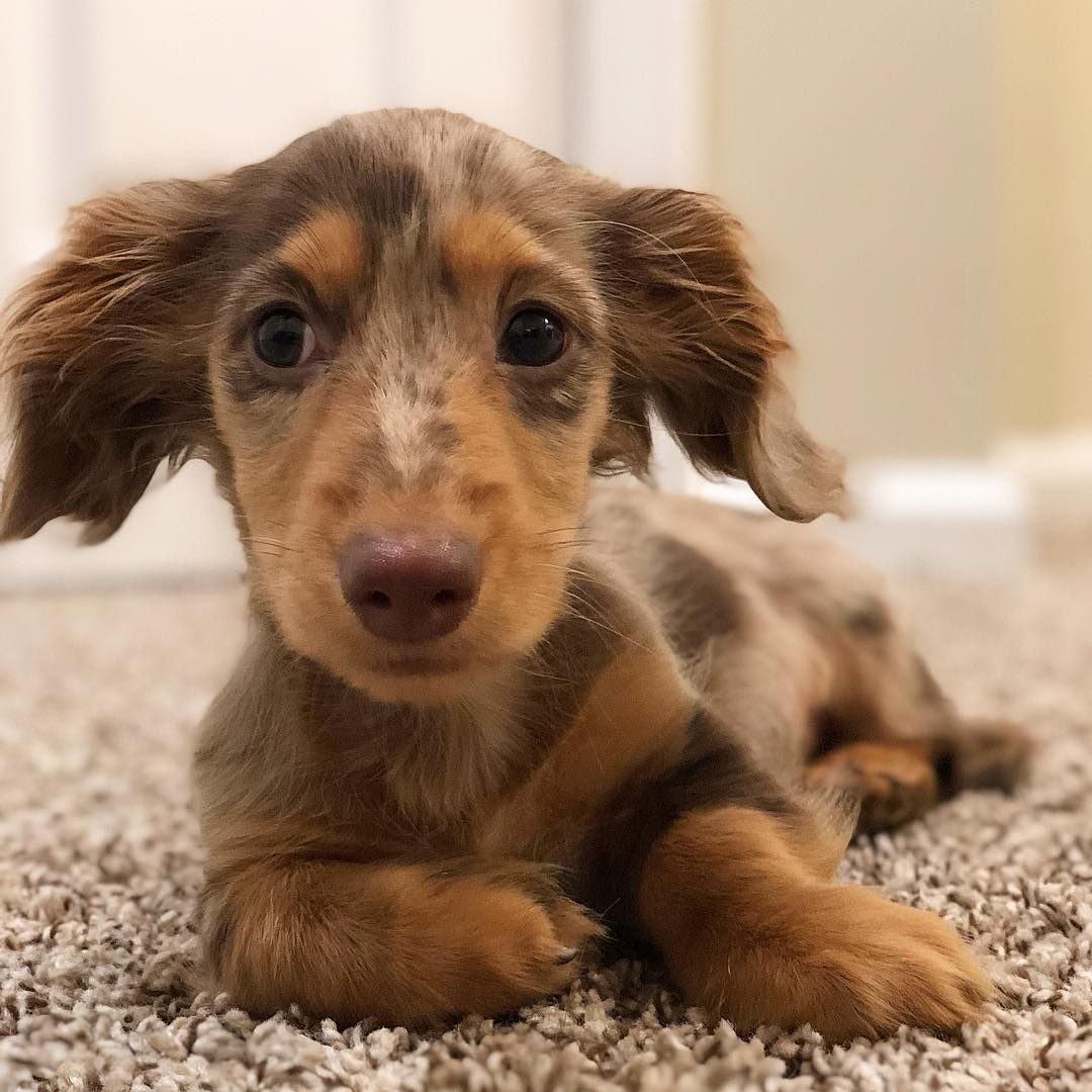 A close-up of a dachshund puppy.