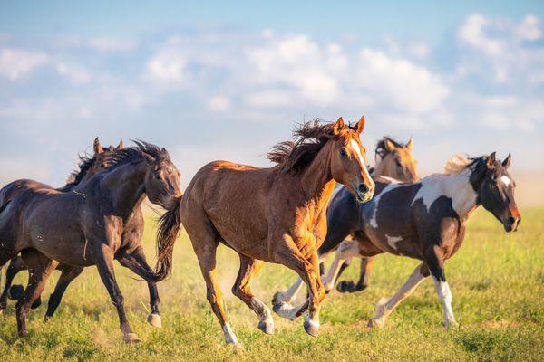 Galloping herd of mustangs