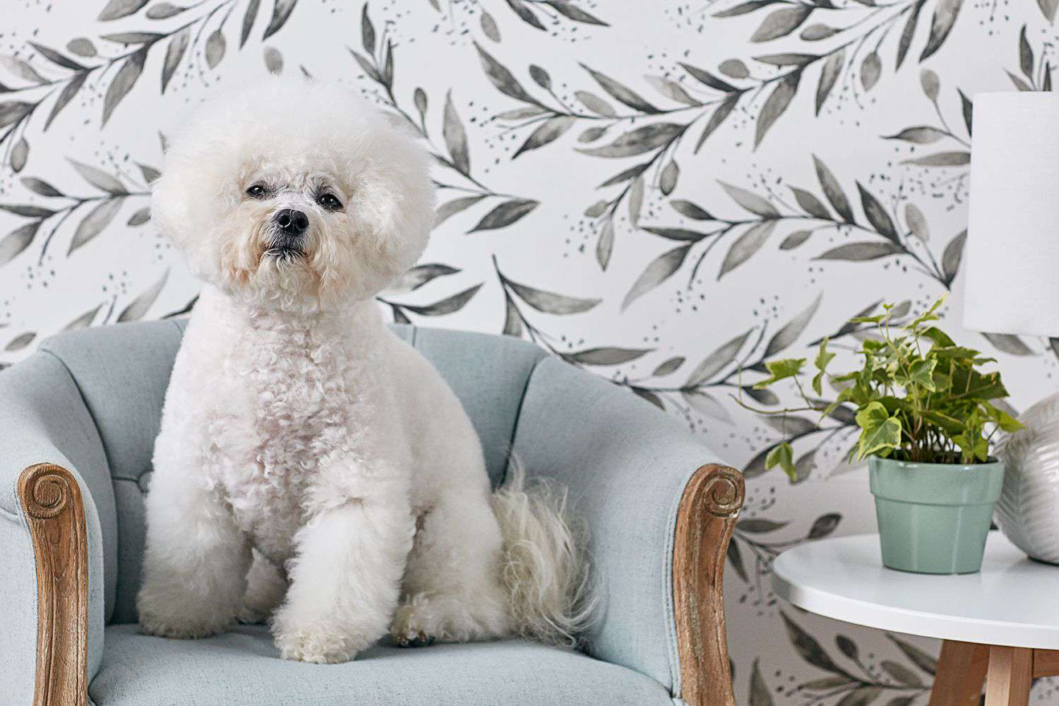 Bichon Frise dog sitting on blue-gray wooden vintage chair next to side table