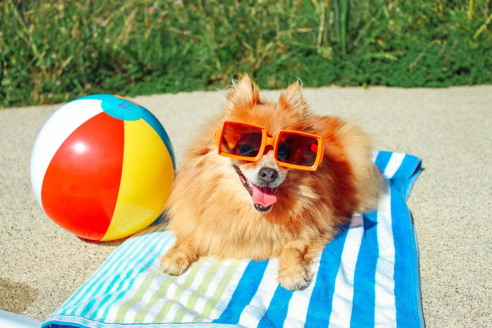 Pomeranian dog at the beach; best dogs for hot weather