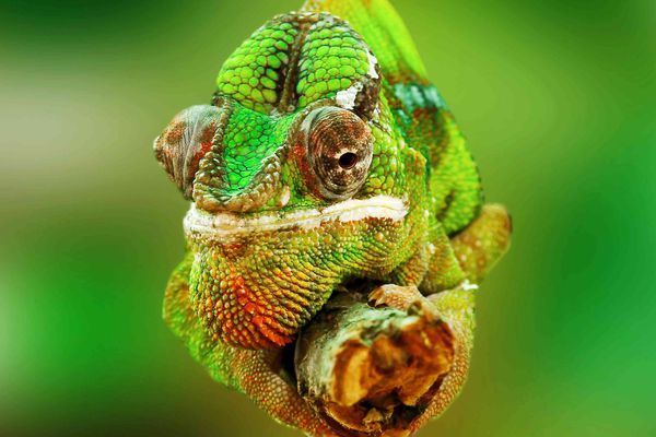 Chameleon up close.