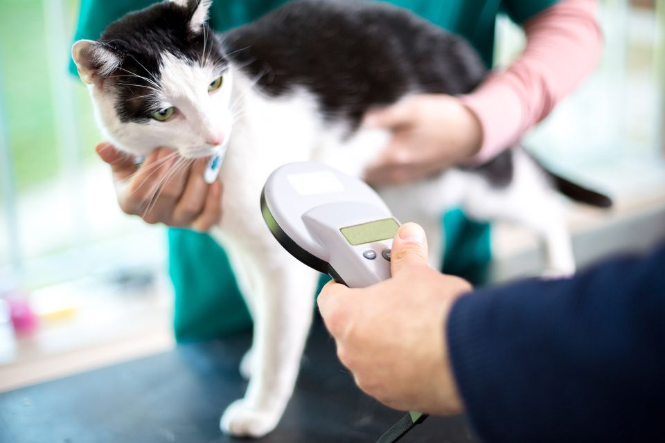 microchipping un gato