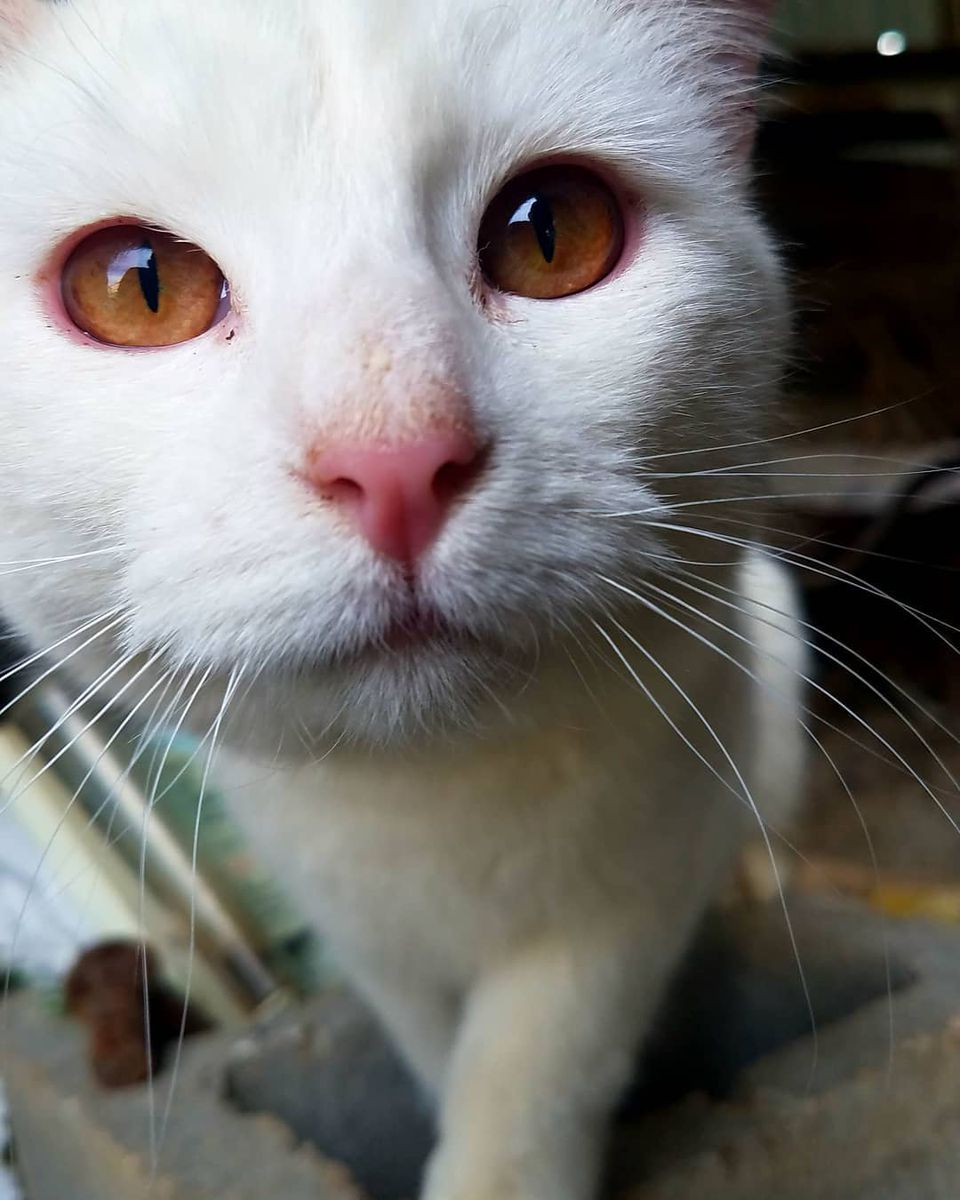 albino cat or white cat