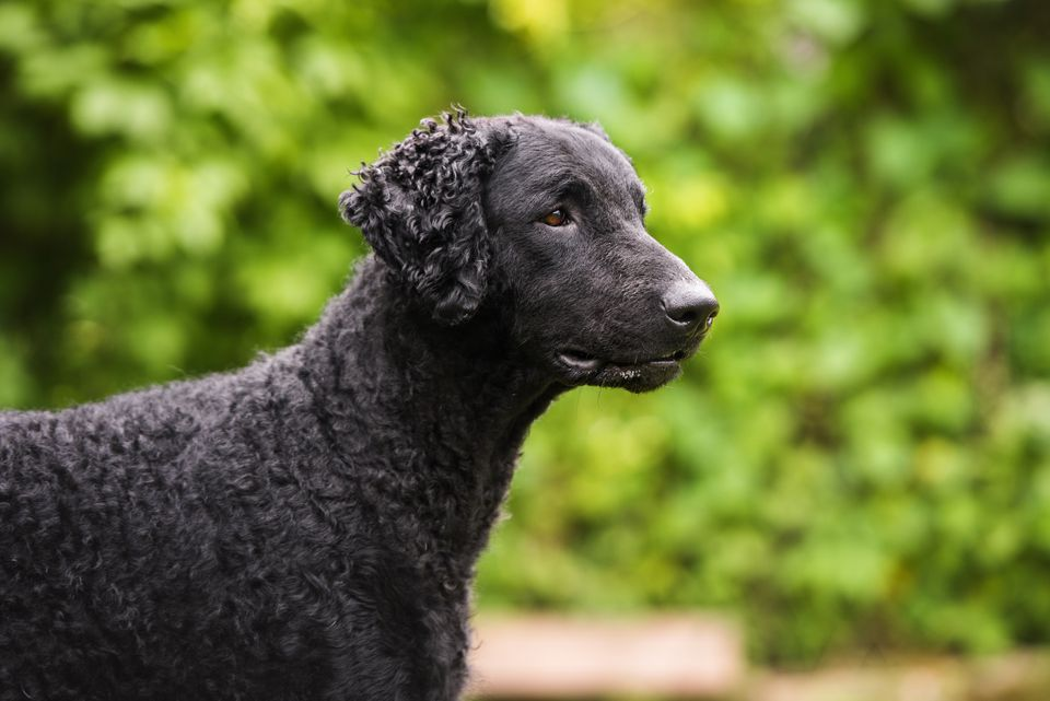 Adult curly-coated retriever profile
