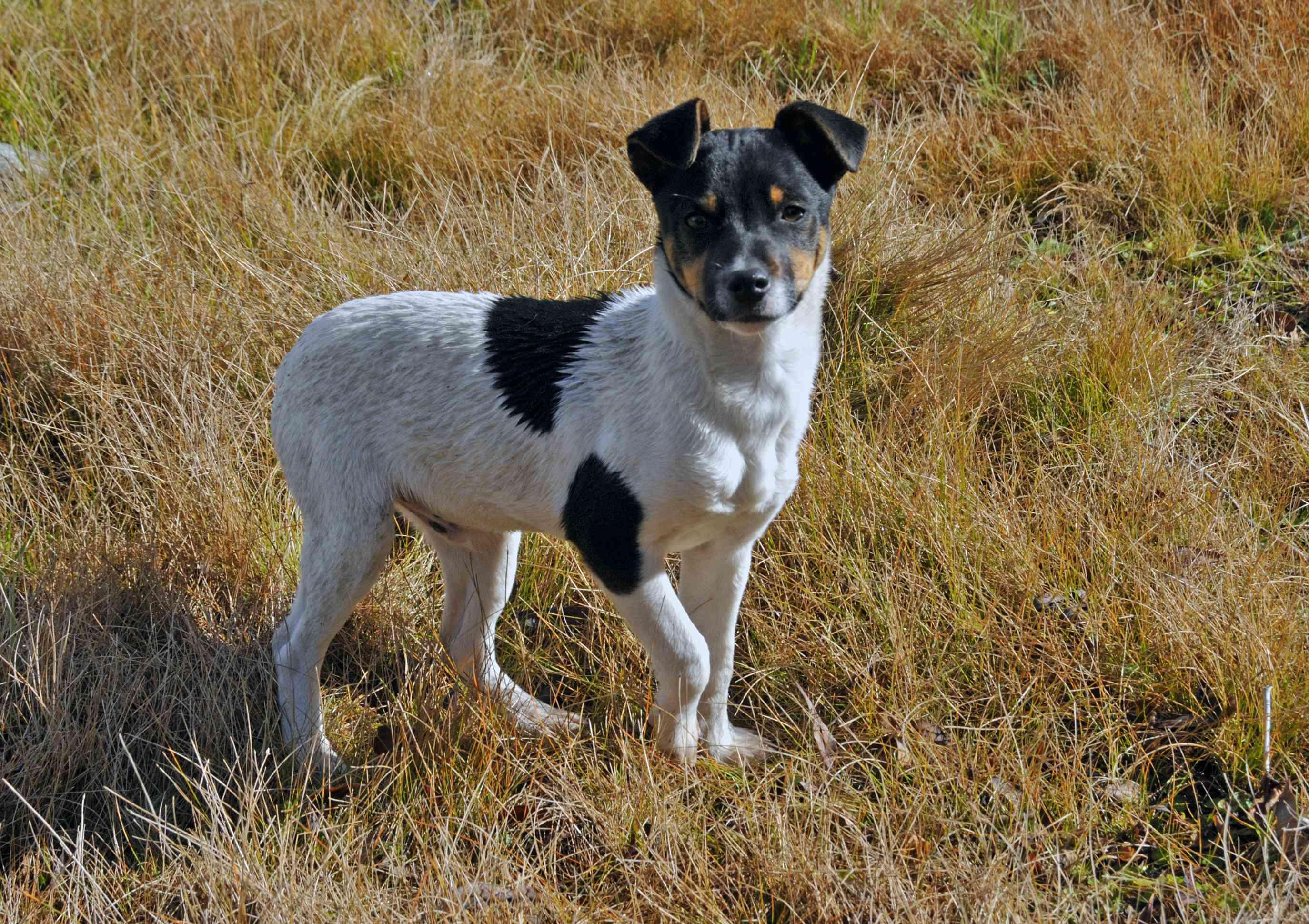 Chilean Terrier