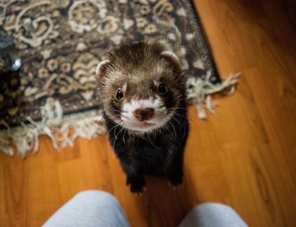 Ferret close-up
