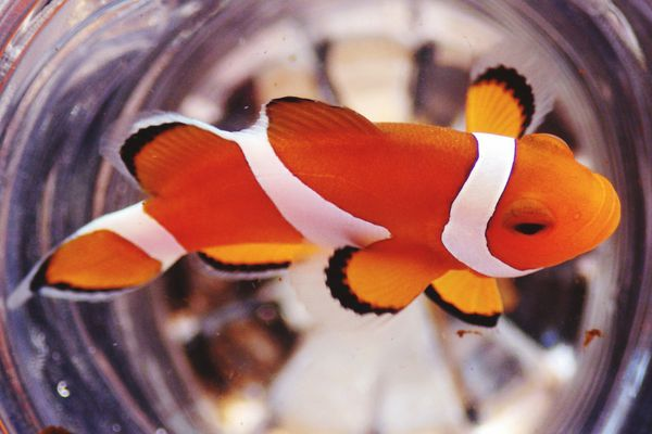 Close-up of a clown fish swimming in its container