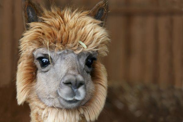closeup of the head of a young alpaca
