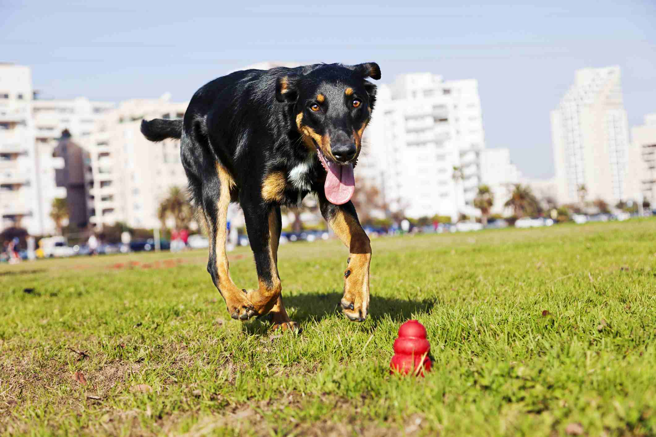Beauceron chasing chew toy