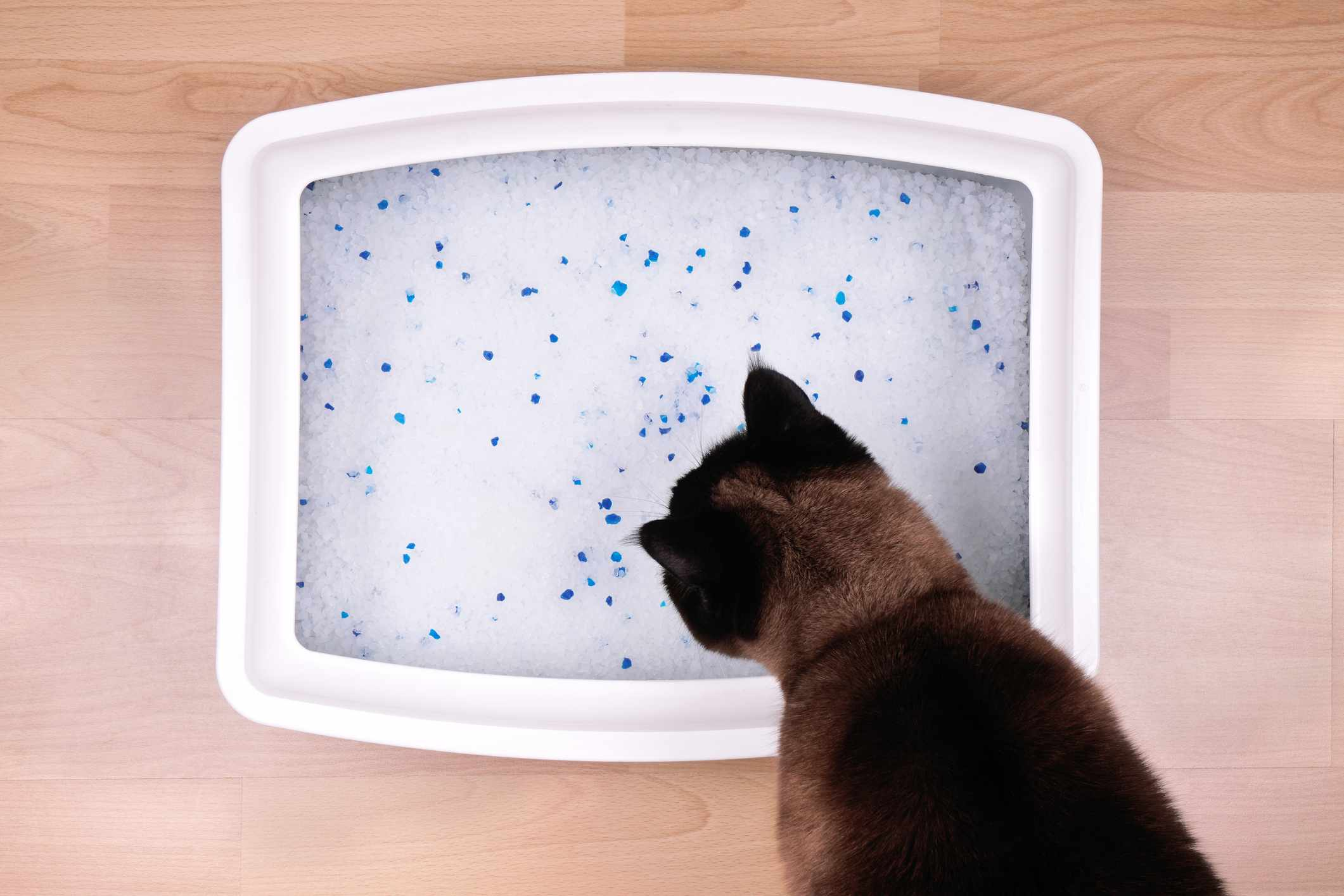 Overhead shot of silica cat litter in a box with a cat looking at it.