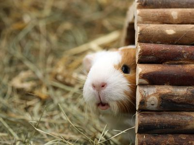 Places to Adopt Guinea Pigs and Other Pocket Pets