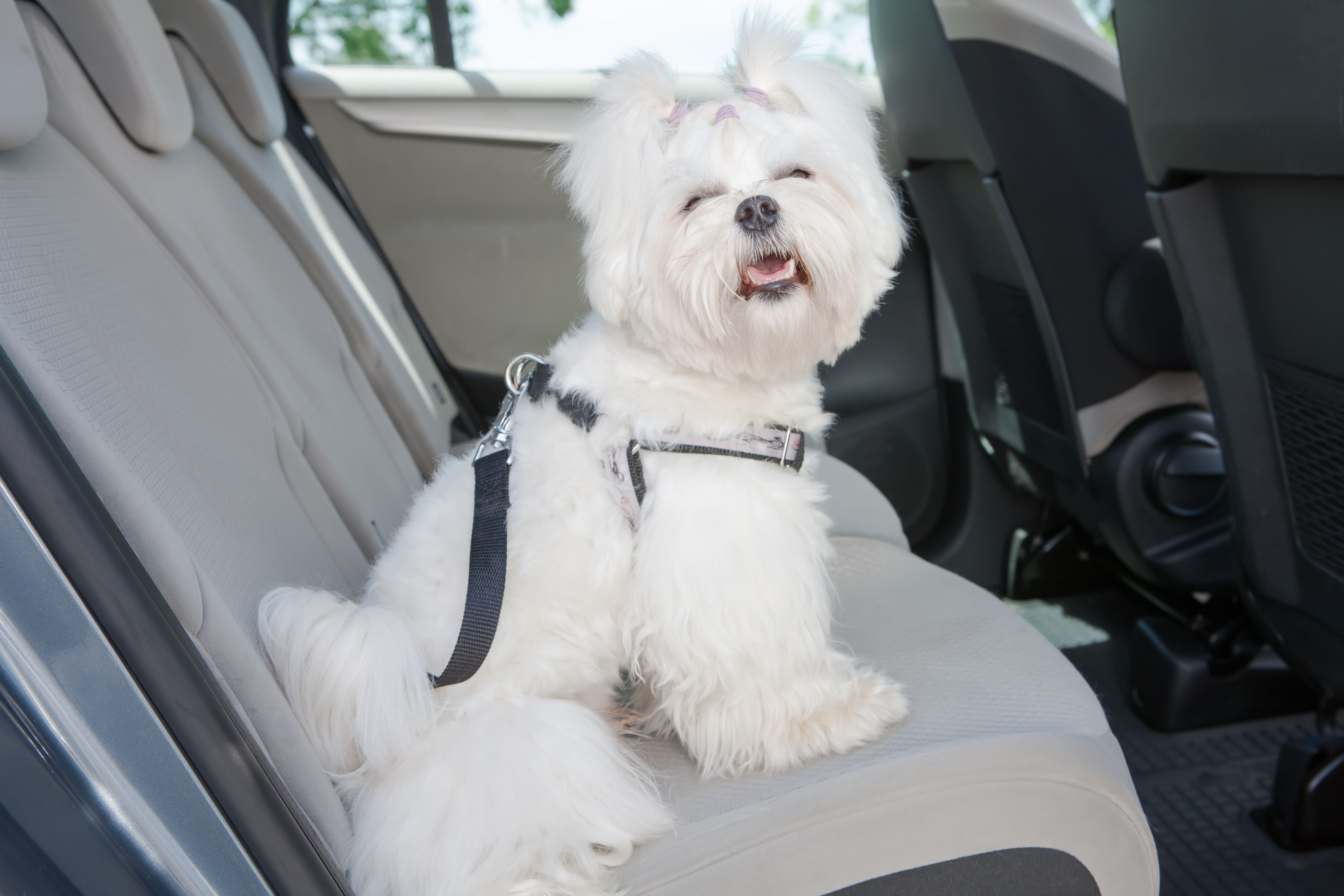 A white dog wearing a harness in the backseat of a car.