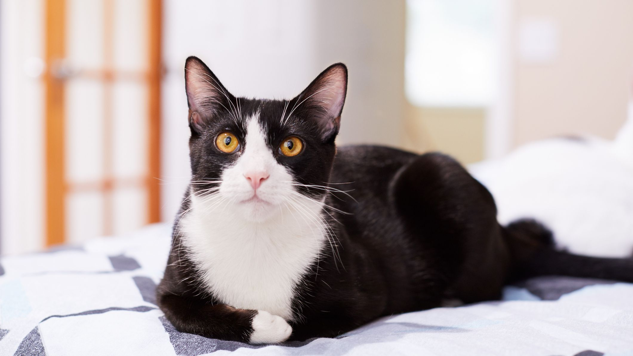 10 Black And White Cat Breeds
