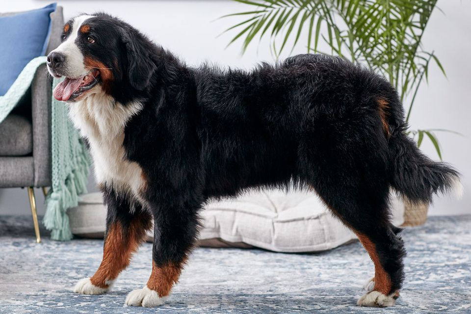 Bernese mountain dog standing indoors in profile