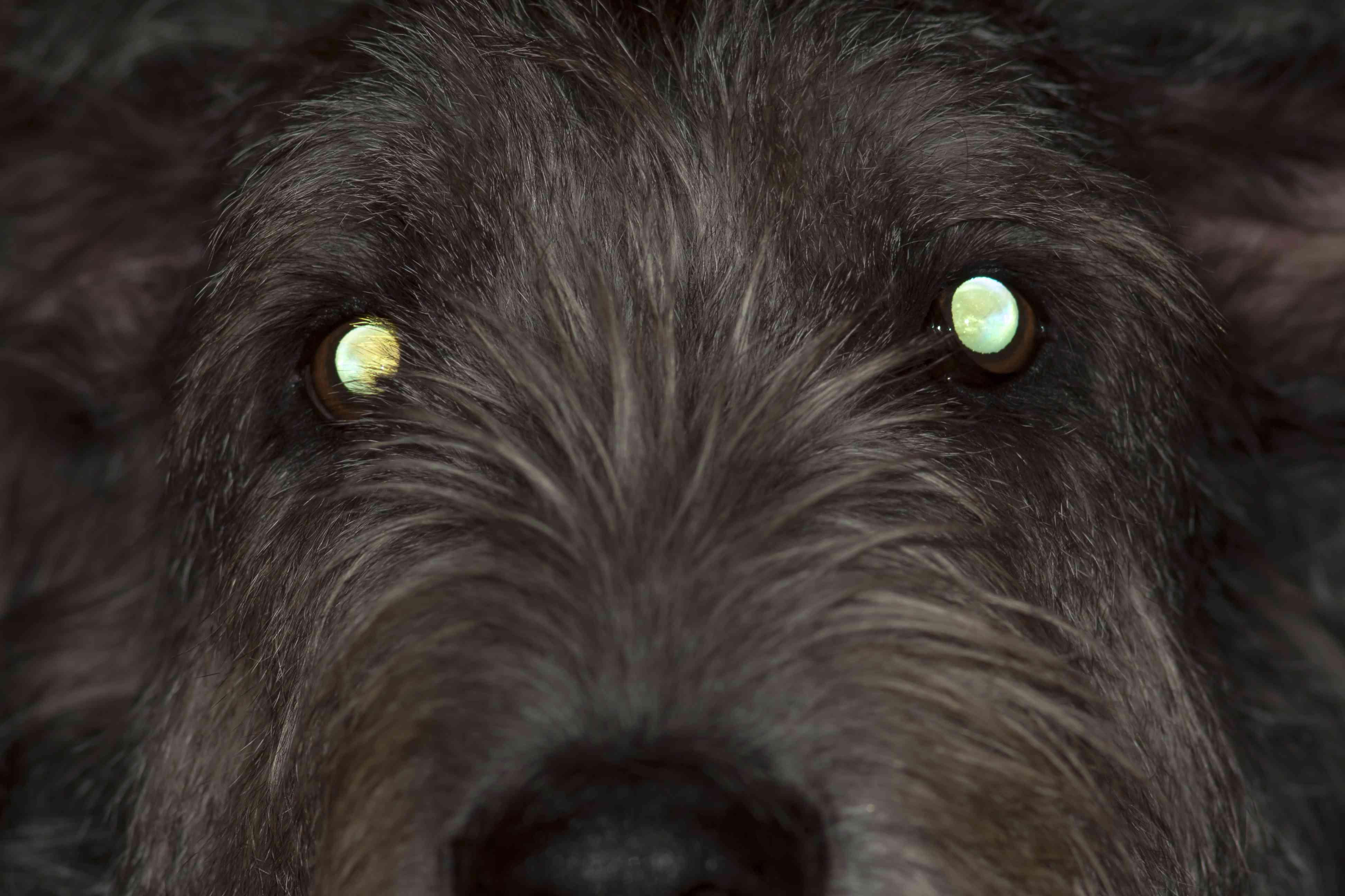tapetum lucidum dog night vision