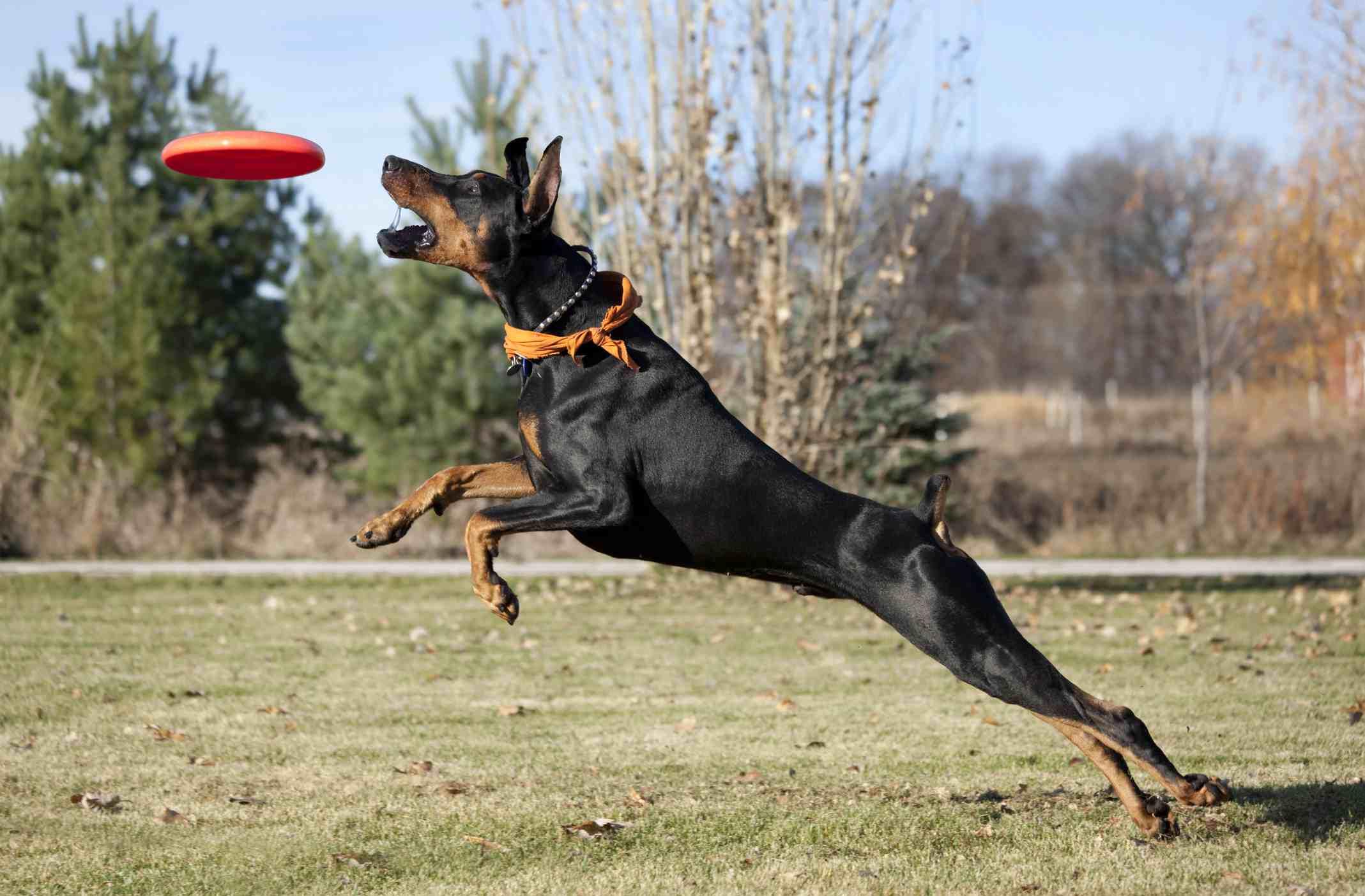 Doberman Pinscher catching frisbee