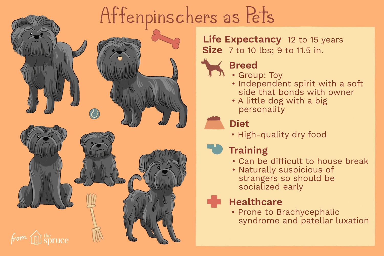 affenpinschers as pets illustration