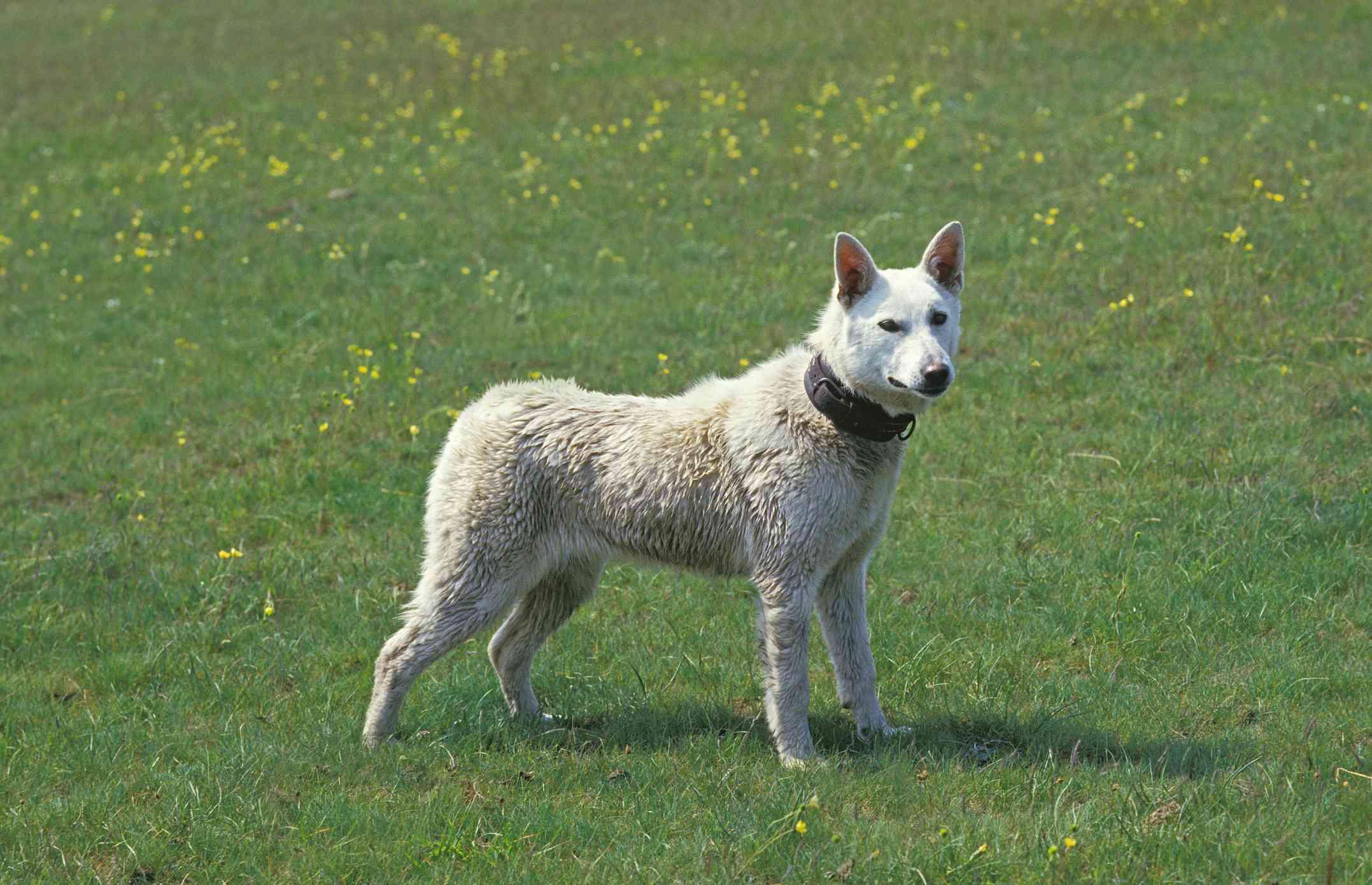 Kishu Ken dog standing outside