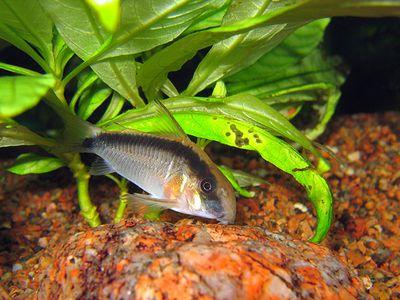 Bristlenose Pleco Fish Breed Profile