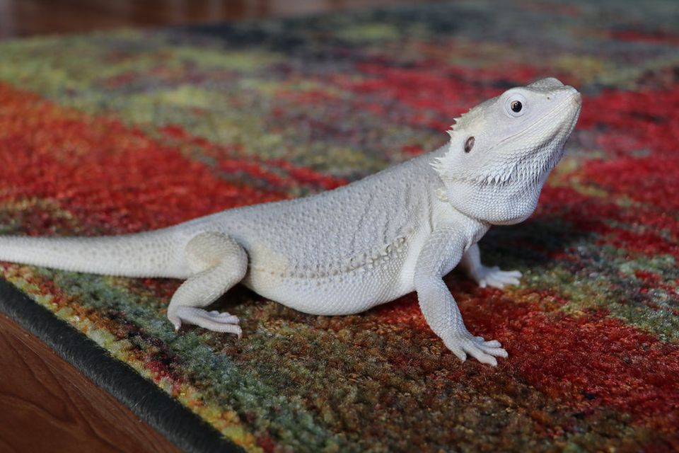 Wero bearded dragon on a rug