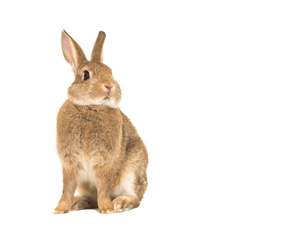 Close-Up Of Rabbit Against White Background