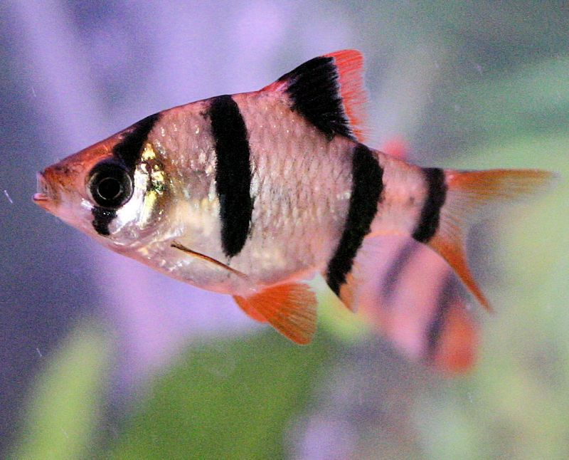 Tiger Barb - Barbus tetrazona