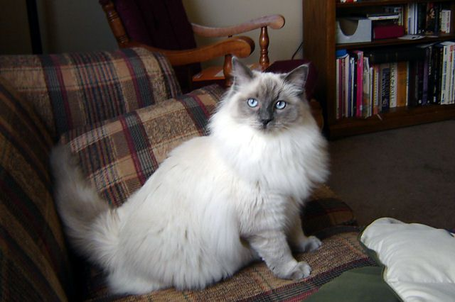 White Ragdoll Cat