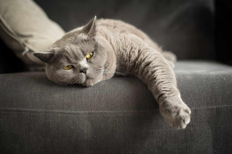 British shorthair cat lying on a sofa
