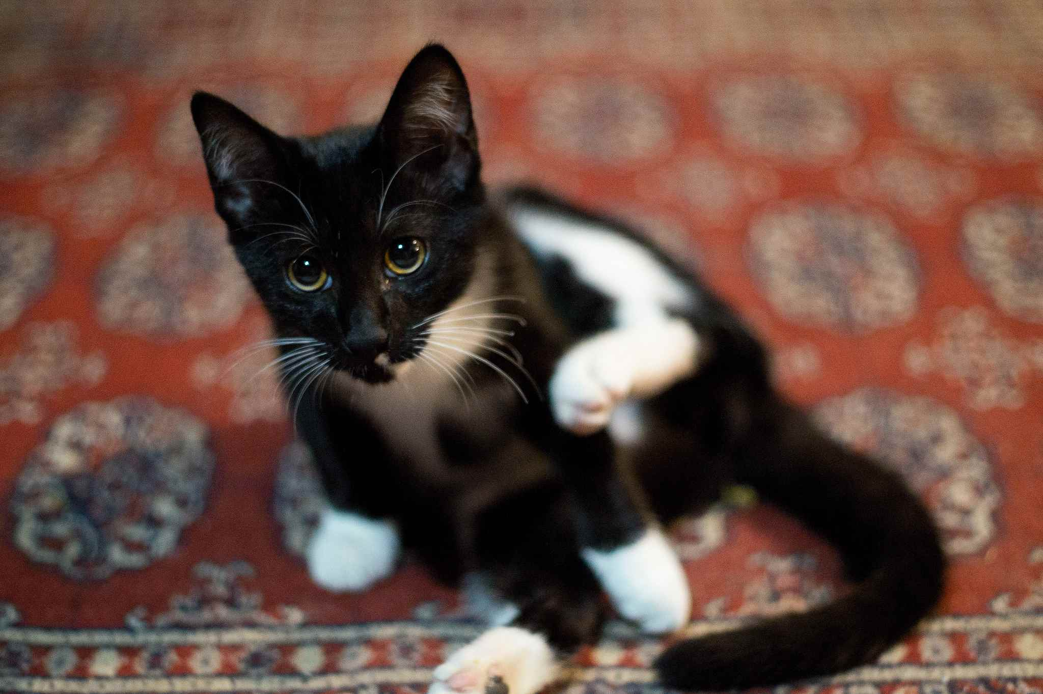 Tuxeo cat raising it's hind leg