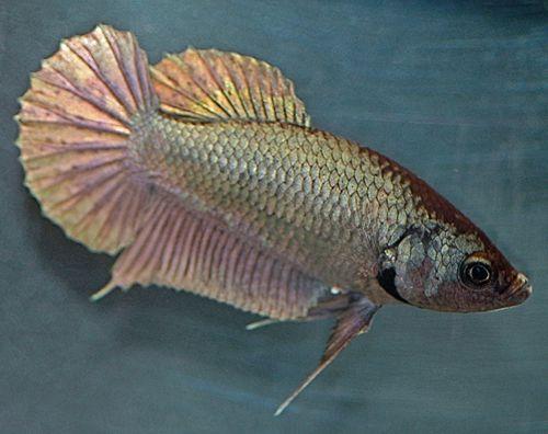 Female Betta Fish Color Variations