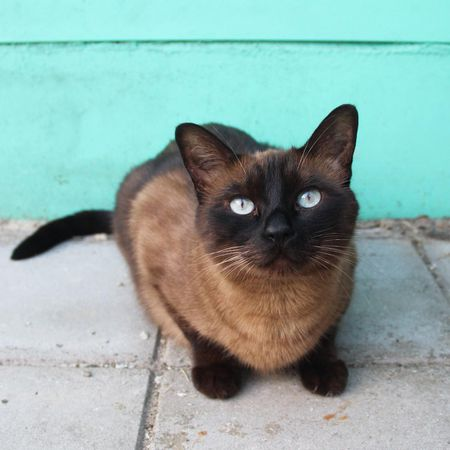 A Brown Siamese Cat Standing In Front Of A Blue Wall