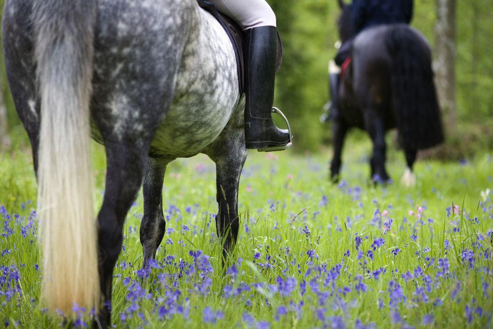 Montar a caballo a través de la madera de bluebell, Brecon Beacons National Park, Powys, Gales, Reino Unido, modelo lanzado