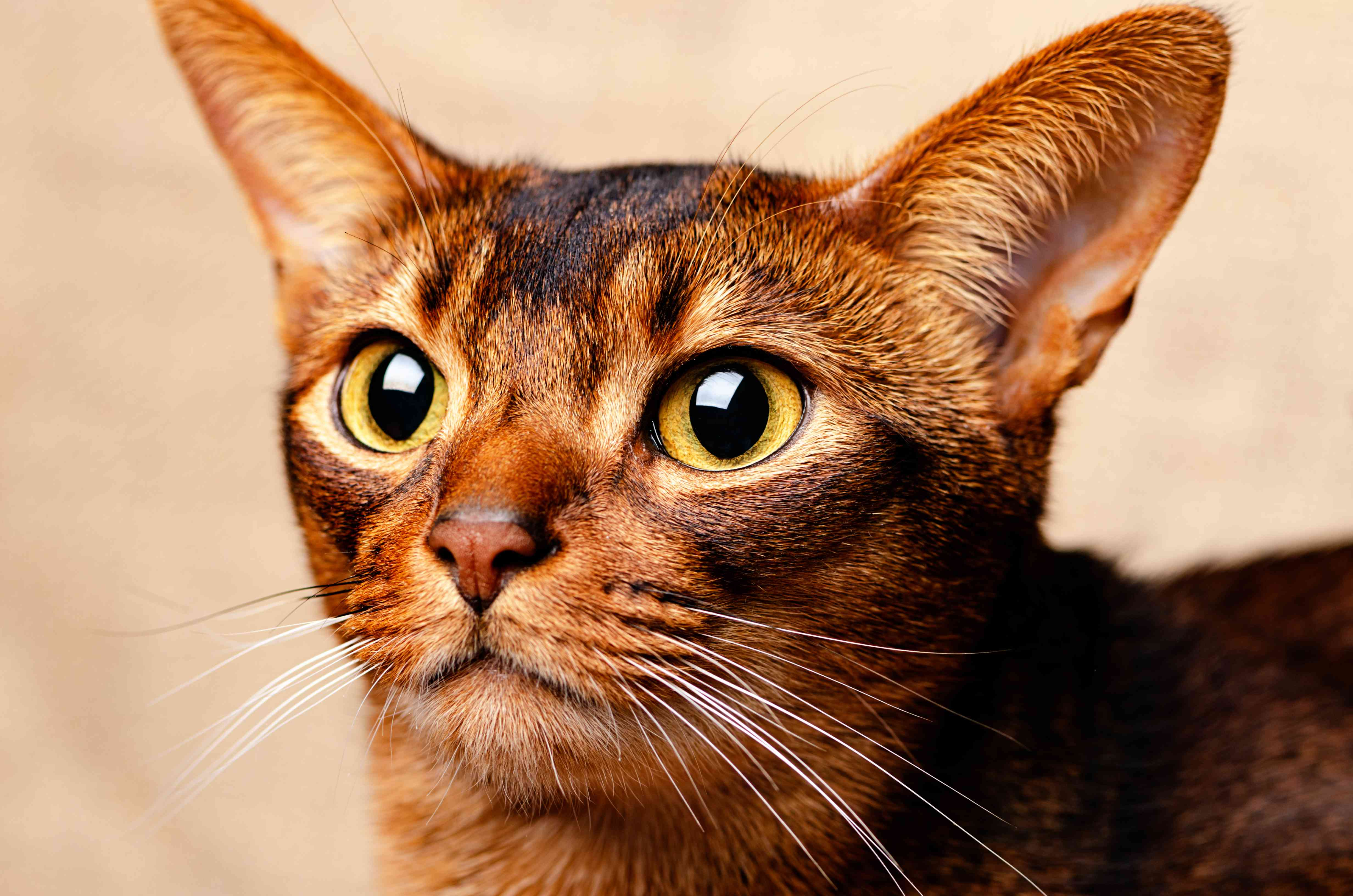 Abyssinian Cat on White