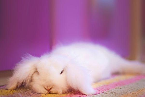 White Angora rabbit laying down