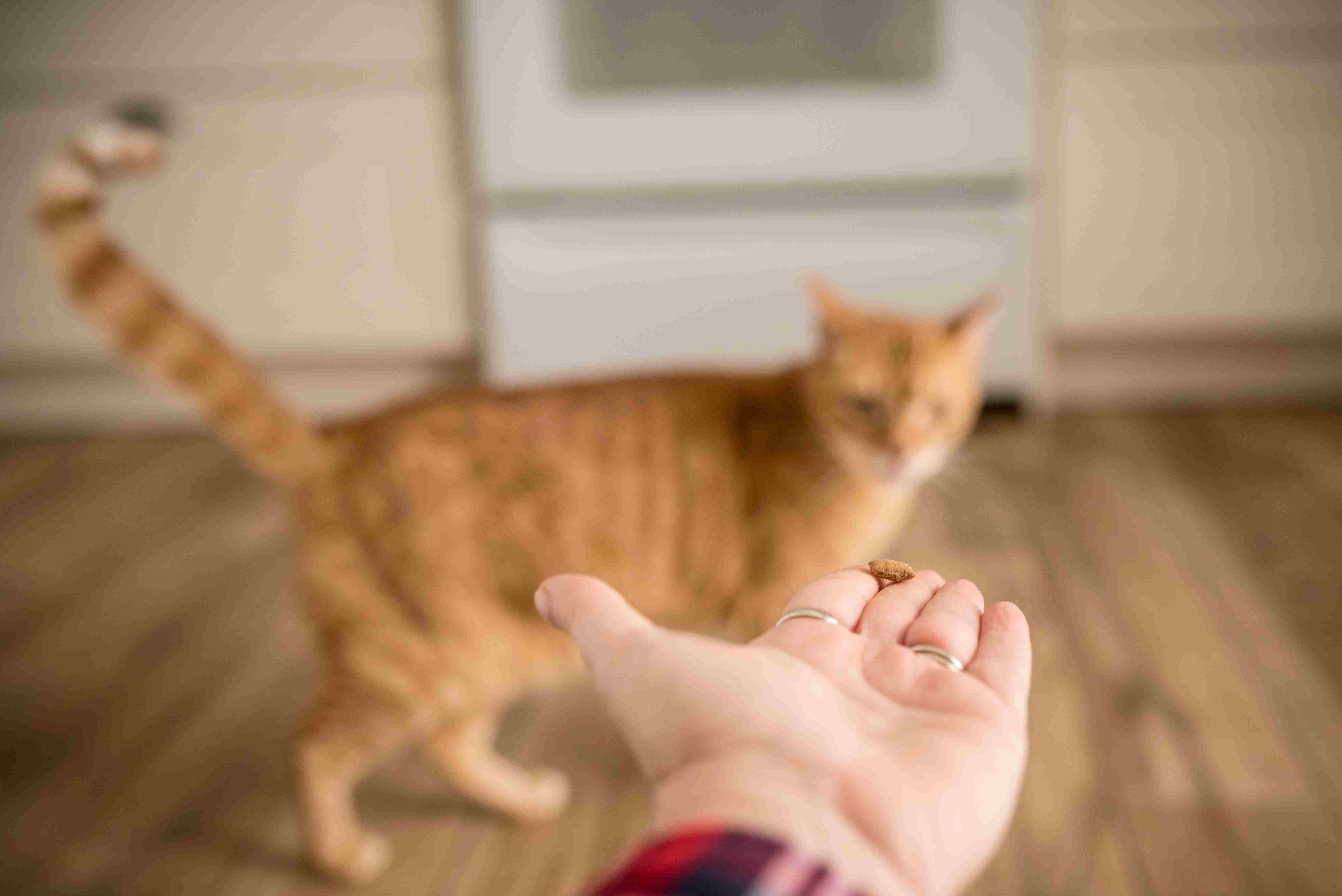 Orange cat looking at hand with treat