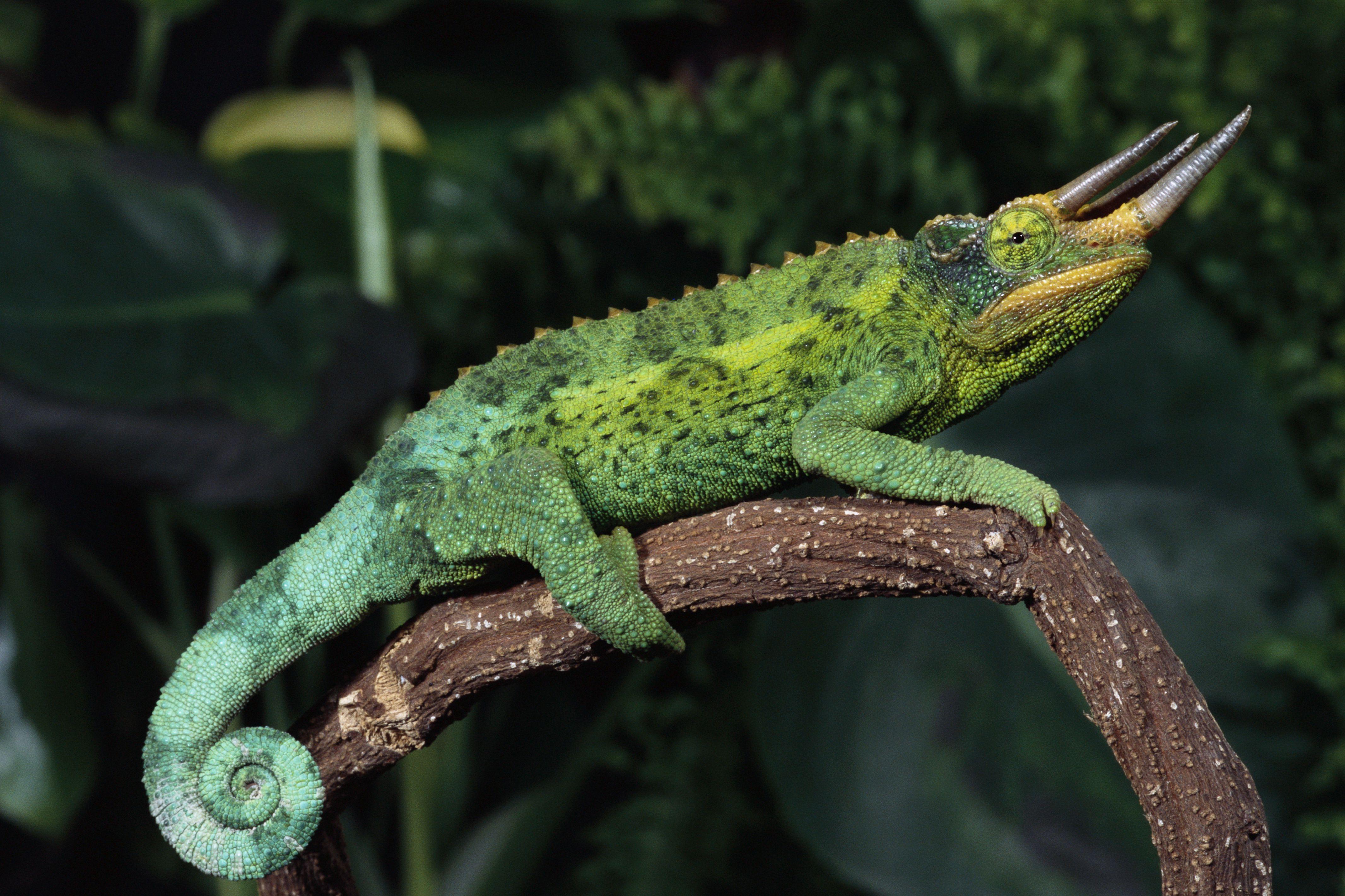 Jackson's Chameleon on Branch