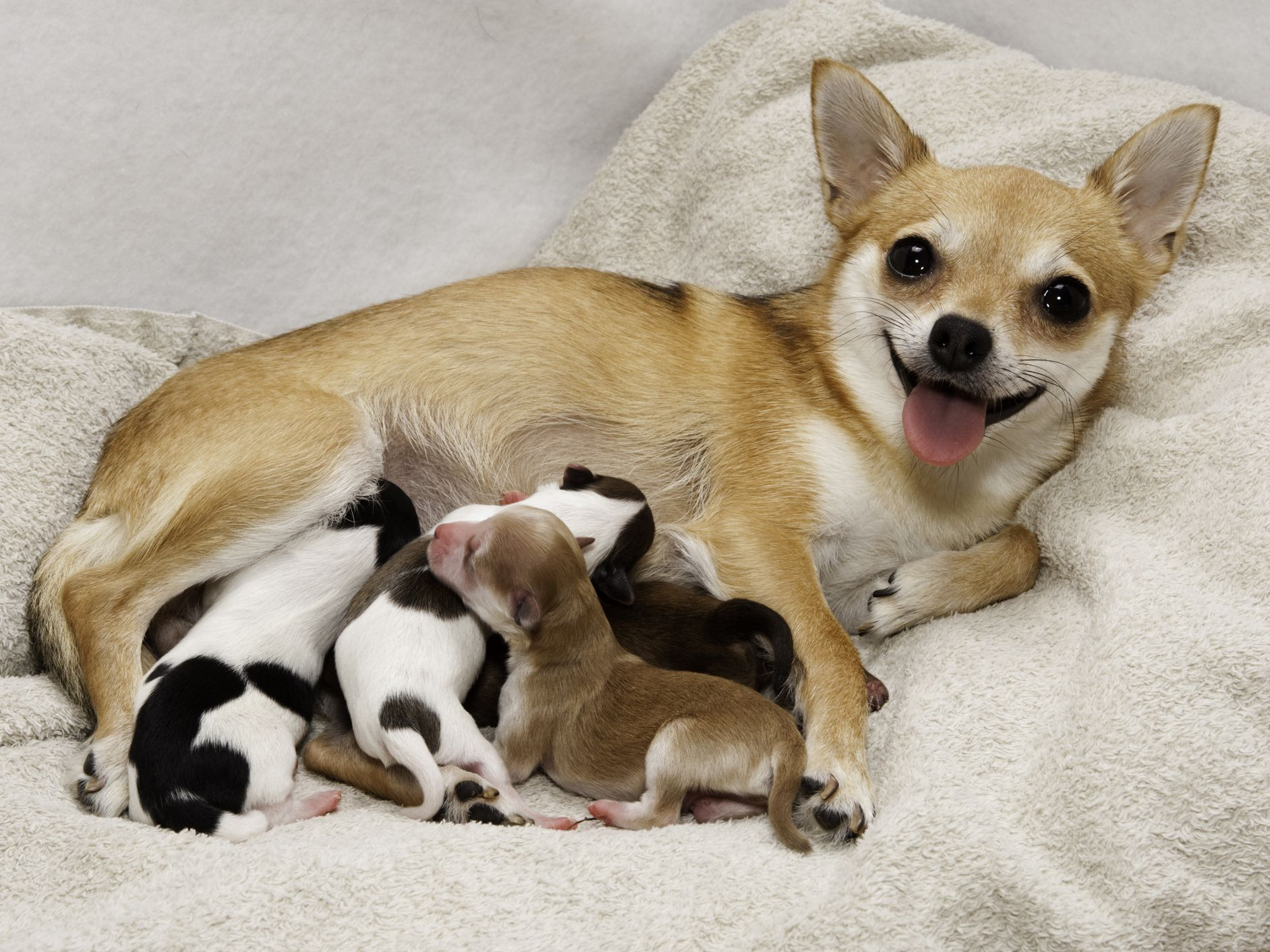 How To Treat Eclampsia In Dogs